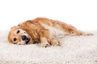 In der tiergestützten Therapie werden oft Retriever, Schäfer- oder Jagdhunde eingesetzt